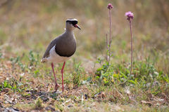 Crowned plover walking on short grass looking for insets Stock Image