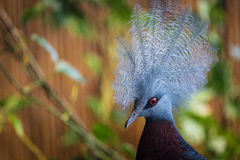 Crowned Sclater bird Royalty Free Stock Photography