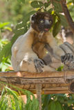 Crowned Sifaka. Wild Crowned Sifaka in Madagascar Royalty Free Stock Photo