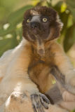 Crowned Sifaka. Wild Crowned Sifaka in Madagascar Royalty Free Stock Images