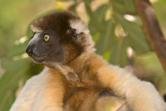 Crowned Sifaka. Wild Crowned Sifaka in Madagascar Royalty Free Stock Photos