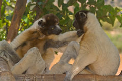 Crowned Sifaka. Wild Crowned Sifaka in Madagascar Stock Image