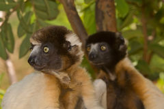 Crowned Sifaka. Wild Crowned Sifaka in Madagascar Royalty Free Stock Photography