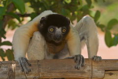 Crowned Sifaka royalty free stock image