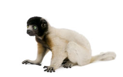 Crowned Sifaka against white background Stock Photo