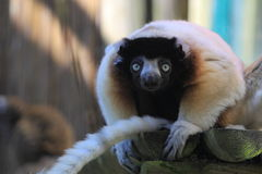 Crowned sifaka Royalty Free Stock Photos