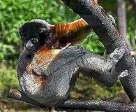 Crowned sifaka 1 Royalty Free Stock Images