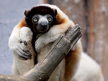 Crowned sifaka lemur Royalty Free Stock Photos