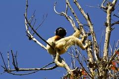 Crowned Sifaka lemur (Propithecus coronatus) Stock Images