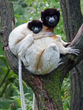 Crowned sifaka Royalty Free Stock Photo