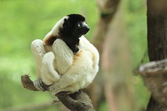 Crowned sifaka Stock Images