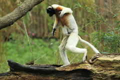 Crowned sifaka Stock Image