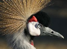 Crownedcrane Stock Foto's