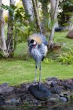 Crownet Crane In Park Royalty Free Stock Photos