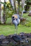 Crownet Crane In Park Royalty Free Stock Photos