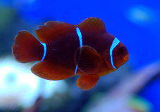 Crownfish. Small crown fish  living amongst anemones Royalty Free Stock Photo