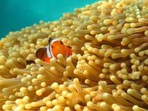Crownfish of Anemonefish, goed - die als Nemo, in S wordt bekend Stock Foto's