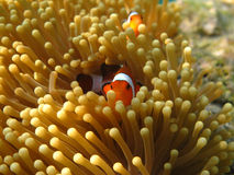 Crownfish or Anemonefish, well known as Nemo, in Sea Anemone. Crownfish or Anemonefish, well known as Nemo, swimming in Sea Anemone Stock Photo