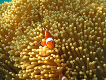 Crownfish or Anemonefish, well known as Nemo, in Sea Anemone. Crownfish or Anemonefish, well known as Nemo, swimming in Sea Anemone Stock Photos