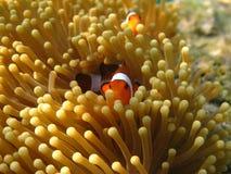 Crownfish lub Anemonefish słynni jako Nemo, w Dennym anemonie Zdjęcie Stock