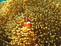 Crownfish lub Anemonefish słynni jako Nemo, w Dennym anemonie Zdjęcia Stock
