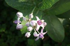 Crownflower, fiore locale tailandese con la foglia verde su cielo blu Filtro dall'annata di effetto fotografia stock libera da diritti
