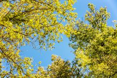Crowns of autumn trees against a blue sky stock photo