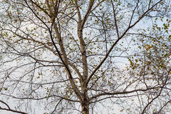 Crowns of birch trees. Stock Photography