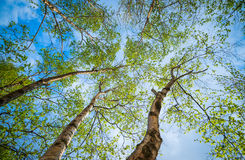 Crowns of birch trees. Royalty Free Stock Photography