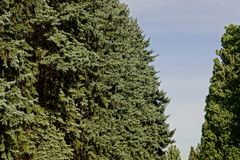 Crowns of coniferous trees ate against the blue sky Royalty Free Stock Photos