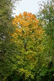Bright colored tops of trees in the park in the autumn day Stock Photography