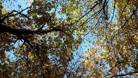 Crowns of deciduous trees swayed in the wind and yellowed leaves fell. Bottom view stock video