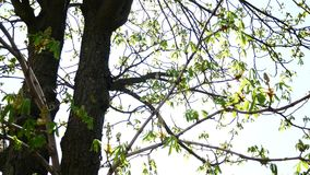 Crowns of huge beautiful chestnut trees with sunlight through green leaves of branches on spring sunny day. Early spring. The leaves of the chestnut stock video footage