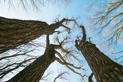 Trees without leaves against the sky Royalty Free Stock Images