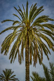 Crowns from a palm tree Royalty Free Stock Photography