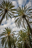 Crowns from palm trees Stock Image