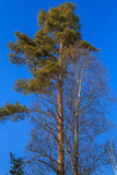 Crowns of pine and birch. On a background of blue sky winter Royalty Free Stock Image