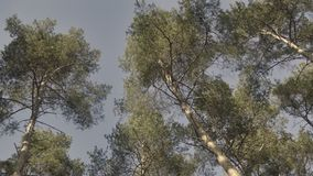 Crowns of pine on blue sky background. View from below, bottom view on tree, a frog perspective. Crowns of pine on blue sky background. Coniferous tree with stock video footage