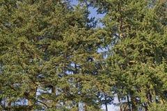 Crowns of pine on the Loenermark Stock Photos
