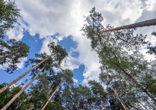 Crowns of pine trees against the sky Stock Photography
