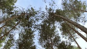 Crowns of pine trees with blue sky. Crowns of big pine trees with blue sky stock footage
