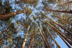Crowns of pine trees in forest royalty free stock photos
