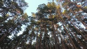 Crowns of pines in the forest stock video footage
