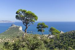 Crowns of relict pines tower above the mountain forest. Sunny summer day. Novyy Svet, Crimea Stock Images