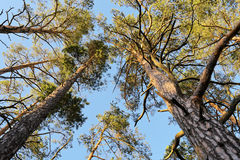 Crowns of Scots or Scotch pine Pinus sylvestris trees growing in evergreen coniferous wood. Forest canopy view from below. Royalty Free Stock Photo