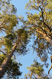 Crowns of Scots or Scotch pine Pinus sylvestris trees growing in evergreen coniferous wood. Forest canopy view from below. Royalty Free Stock Photos