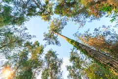 Crowns of tall perennial pines on the background of the sky and sun at sunset Royalty Free Stock Photo