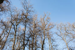 Crowns trees against the background of the blue sky in sunny autumn day Royalty Free Stock Photography
