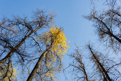 Crowns trees against the background of the blue sky in sunny autumn day Royalty Free Stock Images