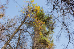 Crowns trees against the background of the blue sky in sunny autumn day Royalty Free Stock Image
